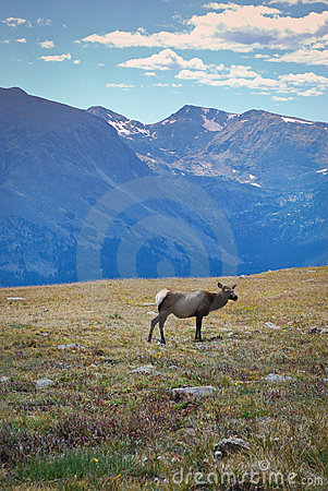 Elk in mountains