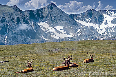 Elk among Mountains