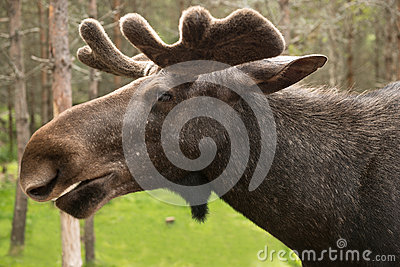 Elk portrait in sweden
