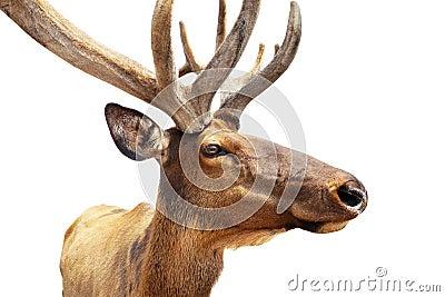 Elk portrait on white