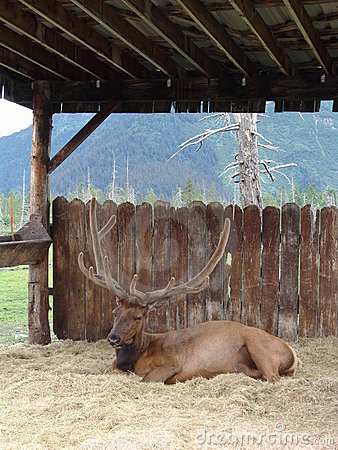 Elk resting in stall