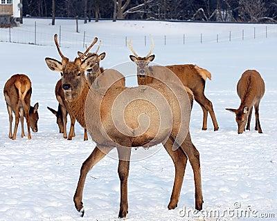 Elk in snowy field