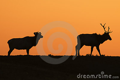 Elk Sunset Silhouettes