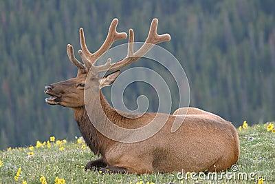 Elk Velvet1