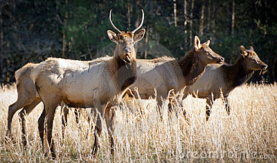 Elk Wildlife Photography in Great Smoky Mountains