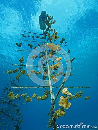 Elkhorn coral nursery