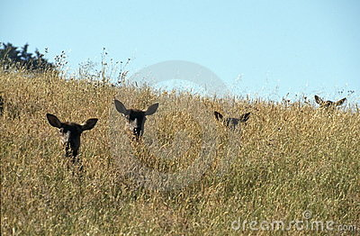 Elks in Tall Grass