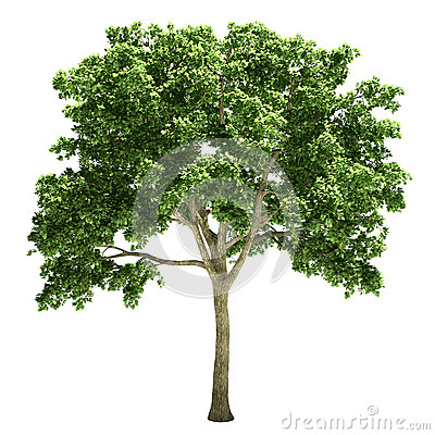 Free Elm Tree Isolated Stock Photography - 34045562