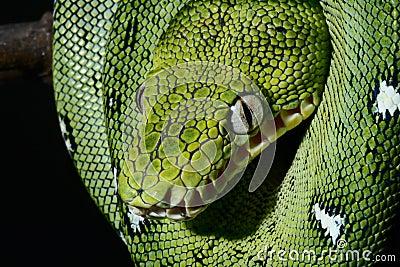 Emerald boa green constrictor snake wild animal