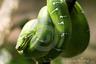 Emerald boa snake