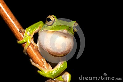 Emerald Green Tree Frog