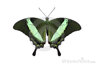 Emerald peacock swallowtail