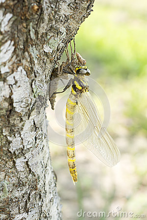 Free Emerged Dragonfly In Vertical Stock Image - 43526561