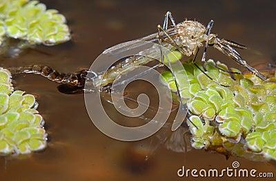 Emerging Mosquito