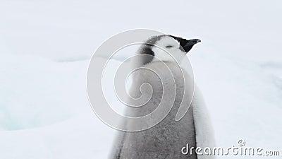 Emperador Pingüino patea en el hielo de la Antártida almacen de video