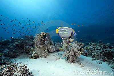 Emperor angelfish and ocean
