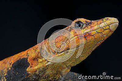 Emperor Flat Lizard