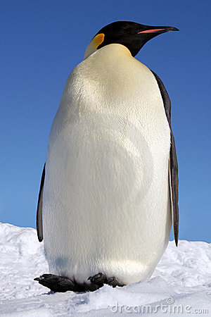 Emperor, the largest of the pen
