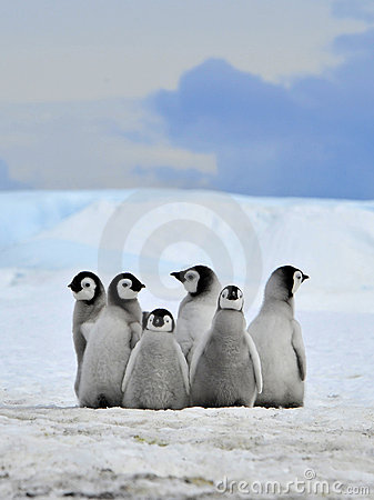 Free Emperor Penguin Royalty Free Stock Photography - 16891427