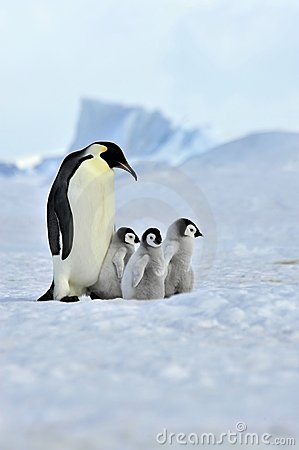 Free Emperor Penguin Royalty Free Stock Image - 16892036