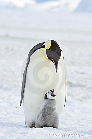 Free Emperor Penguin Royalty Free Stock Image - 16892256