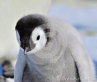 Emperor Penguin Editorial Image