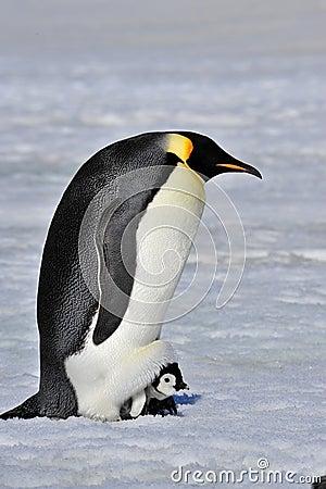 Free Emperor Penguin Stock Image - 60857191