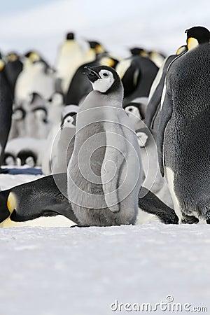 Emperor penguin (Aptenodytes forsteri)