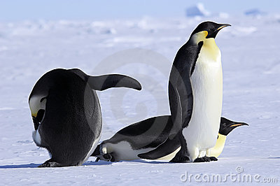 Emperor penguin group