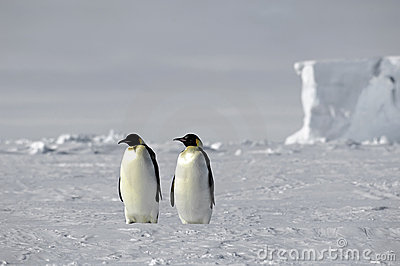 Emperor penguin pair