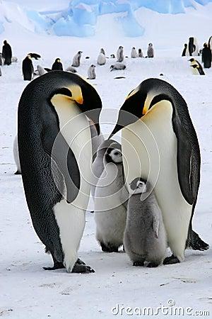 Free Emperor Penguins Stock Photos - 12636443