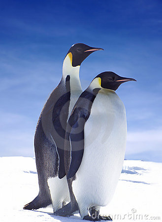 Free Emperor Penguins Stock Image - 2299651