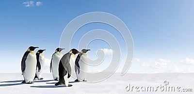 Emperor Penguins in snow scene