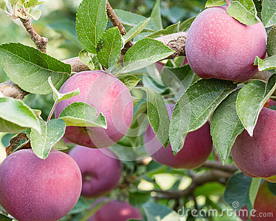 Empire apples in the apple tree