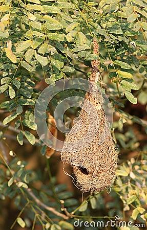 Empty baya nest