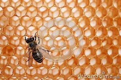 Empty honeycomb with bee