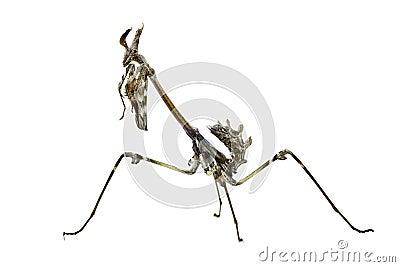 Empusa pennata insect