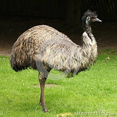 Free Emu Stock Image - 11624891