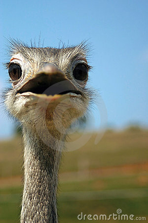 Free Emu Stock Photography - 203732
