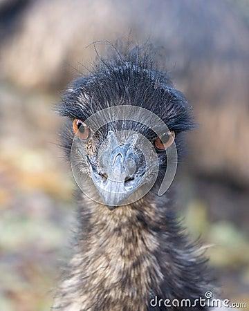 Free Emu. Royalty Free Stock Photo - 23076125