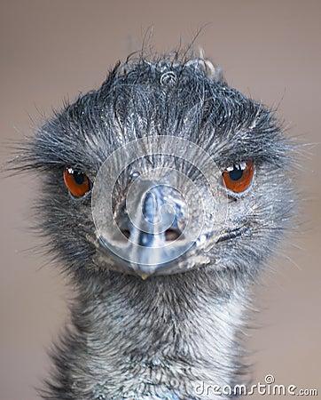 Free Emu Stock Images - 27216134