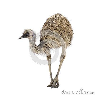 Free Emu Stock Image - 2781151
