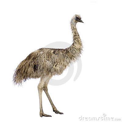 Free Emu Royalty Free Stock Photos - 2781158