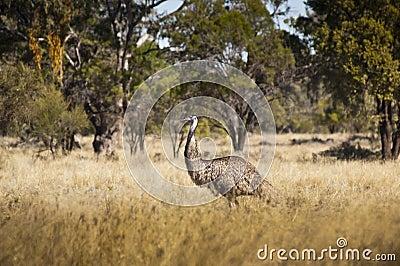 Emu dans sauvage