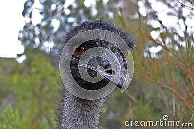 Emu-Gesicht