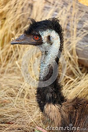 Free Emu Head Stock Image - 83690851
