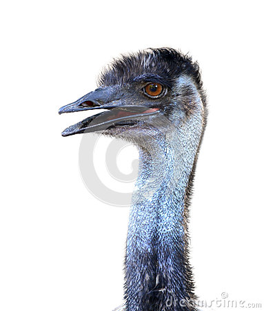 Free Emu Head Isolated Royalty Free Stock Photography - 41198767