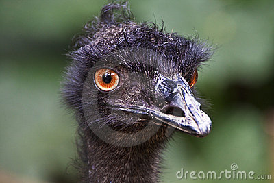 Emu s Bad Hair Day