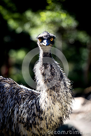 Free Emu Staring With Its Wide Open Bright Orange Eyes Stock Image - 52849901