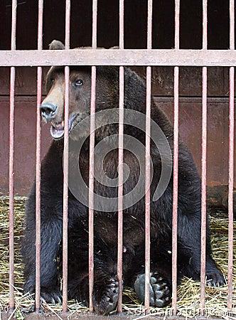 En asservissement d ours
